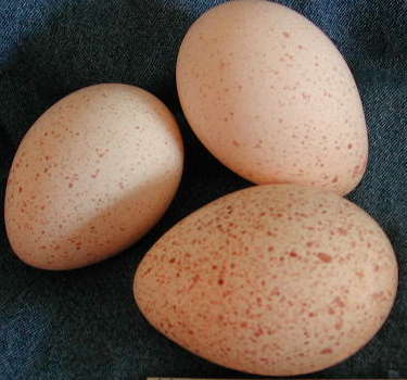 Turkey eggs hatching